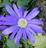 purpury Obraz Stock