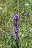 Purpury Bellflower, kampanula, kwiaty z bokeh tłem, zakończenie, selekcyjna ostrość, płytki DOF Fotografia Stock