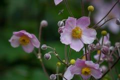 Purpury flaga kwiaty Zdjęcie Royalty Free