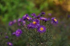 Purpury i żółty kwiat w zbliżeniu Fotografia Stock