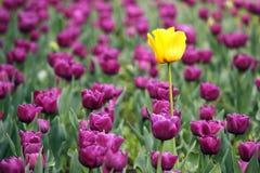 Purpury i jeden żółty tulipanowy kwiat Zdjęcie Stock