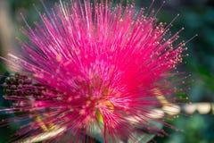 Purpury kwitną płatki w paski Zdjęcie Stock