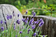 Purpury kwitną szczegół z drewnianymi przedmiotami w tle Zdjęcie Royalty Free