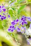 Purpury kwitną, Złoty Dewdrop, Gołębia jagoda, niebo kwiat (Duranta Zdjęcia Stock