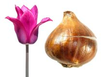 Purpury Kwitnęli tulipanu z tulipanową żarówką odizolowywającą na bielu Fotografia Royalty Free