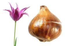 Purpury Kwitnęli tulipanu z tulipanową żarówką odizolowywającą na bielu Zdjęcie Royalty Free