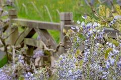 Purpury kwitn?li ?a?o?? przy RHS Wisley, statku flagowego Kr?lewski Ogrodniczy spo?ecze?stwo ogr?d, Surrey, UK obrazy royalty free