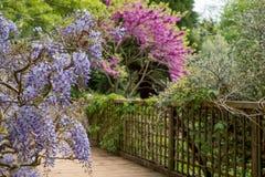 Purpury kwitn?li ?a?o?? wspina si? nad mostem przy RHS Wisley, statku flagowego Kr?lewski Ogrodniczy spo?ecze?stwo ogr?d, Surrey, zdjęcia royalty free