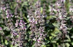 Purpury kwitnie basilu na ogródzie w pogodnym popołudniu obrazy royalty free