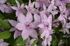 Purpury mgiełka zdjęcia stock
