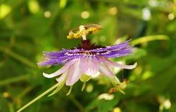 Purpury mgiełki Passiflora Fotografia Stock