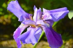 Purpury opalesce irysowy kwiat odizolowywający Zdjęcia Stock