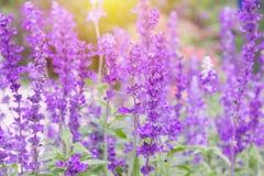 Purpury pola kwiatów tła lawendowy kwiat Obraz Royalty Free