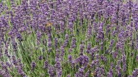 Purpury pole kwitnie tło zbiory wideo