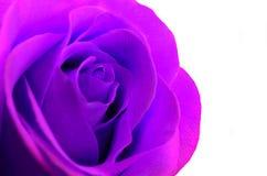 Purpury róży zbliżenie na białym tle Fotografia Stock