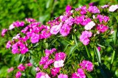 Purpury różowy dianthus chinensis z wodnymi kroplami Fotografia Stock
