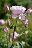 Purpury róża w ogródzie Fotografia Royalty Free