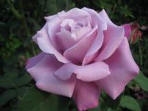Purpury róża w ogródzie Obrazy Royalty Free