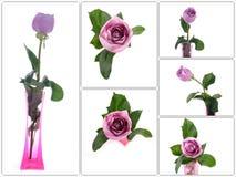 Purpury róża w wazowej kolekci Obrazy Royalty Free