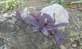 Purpury roślina Zdjęcia Royalty Free