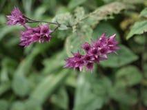 Purpury roślina Fotografia Stock