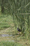 Purpury swamphen w płochach, Jeziorny Manyara, Tanzania Obraz Royalty Free