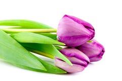 purpury trzy tulipanu Fotografia Stock