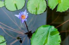 Purpury woda lilly kwitnie przy stawem Obraz Royalty Free