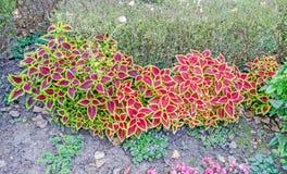 Purpury z żółtego coleus ornamentacyjną rośliną, zamykają up, plenerowy Obrazy Royalty Free