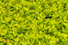 Purpus Priver. Leaves in a park Stock Photo