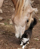 Purrfect Friends. Young Arabian colt and young cat purring against his nose Royalty Free Stock Photography
