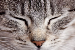 Free Purring Cat Stock Photos - 41084963