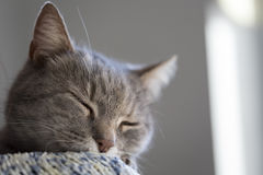 Purring cat Stock Photography