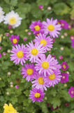 Purse chrysanthemums in the park Stock Photography