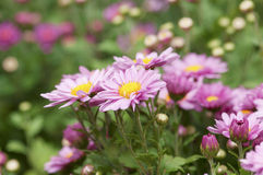 Purse chrysanthemums in the park Stock Images