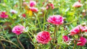 Pursely-Blumen Lizenzfreie Stockfotos