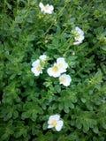 Purslane και τα λουλούδια του Στοκ Εικόνες