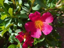 Portulaca flower. The purslane is any of a number of small, typically fleshy-leaved plants that grow in damp habitats or waste places, in particular Royalty Free Stock Photo