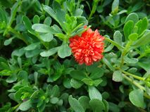 Portulaca flower. The purslane is any of a number of small, typically fleshy-leaved plants that grow in damp habitats or waste places, in particular Stock Images