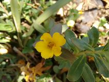 Yellow flower of portulaca. The purslane is any of a number of small, typically fleshy-leaved plants that grow in damp habitats or waste places, in particular Royalty Free Stock Photography