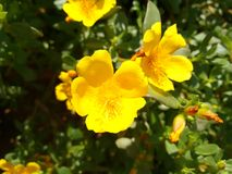 Yellow flower of portulaca. The purslane is any of a number of small, typically fleshy-leaved plants that grow in damp habitats or waste places, in particular Royalty Free Stock Photo