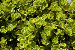 Purslane background texture Royalty Free Stock Photos