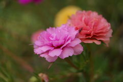 Purslane and bloom flower Royalty Free Stock Images