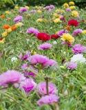 Purslane común en jardín fotografía de archivo