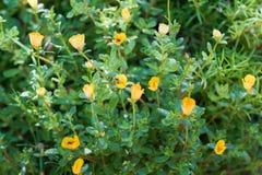 Purslane comum amarelo Fotografia de Stock