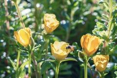 Purslane comum amarelo Foto de Stock Royalty Free