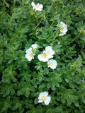 Purslane en zijn Bloemen Stock Afbeeldingen