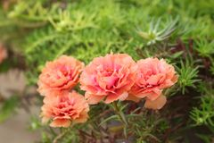 Purslane floreciente - flores rosadas en la naturaleza Imagenes de archivo
