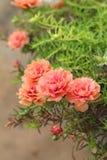 Purslane floreciente - flores rosadas en la naturaleza Imagen de archivo