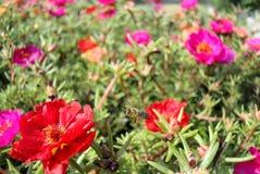 Purslane im Garten Stockbild